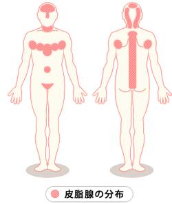皮脂腺の発達している部分